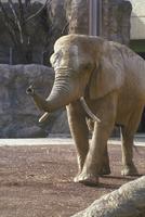 アフリカゾウ 23018032187| 写真素材・ストックフォト・画像・イラスト素材|アマナイメージズ