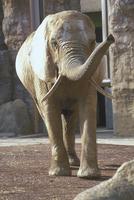 アフリカゾウ 23018032188| 写真素材・ストックフォト・画像・イラスト素材|アマナイメージズ