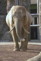 アフリカゾウ 23018032189| 写真素材・ストックフォト・画像・イラスト素材|アマナイメージズ