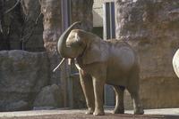 アフリカゾウ 23018032190| 写真素材・ストックフォト・画像・イラスト素材|アマナイメージズ