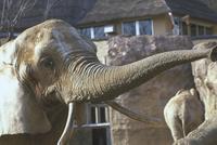 アフリカゾウ 23018032193| 写真素材・ストックフォト・画像・イラスト素材|アマナイメージズ