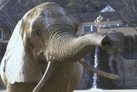 アフリカゾウ 23018032194| 写真素材・ストックフォト・画像・イラスト素材|アマナイメージズ