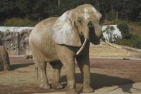 アフリカゾウ 23018032195| 写真素材・ストックフォト・画像・イラスト素材|アマナイメージズ