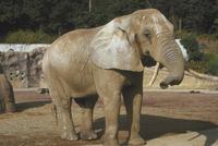 アフリカゾウ 23018032196| 写真素材・ストックフォト・画像・イラスト素材|アマナイメージズ