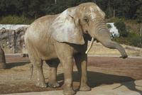 アフリカゾウ 23018032197| 写真素材・ストックフォト・画像・イラスト素材|アマナイメージズ