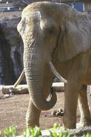 アフリカゾウ 23018032198| 写真素材・ストックフォト・画像・イラスト素材|アマナイメージズ