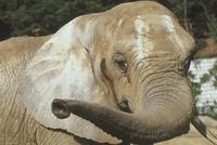 アフリカゾウ 23018032200| 写真素材・ストックフォト・画像・イラスト素材|アマナイメージズ
