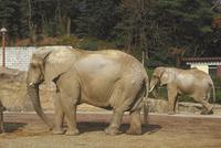 アフリカゾウ 23018032203| 写真素材・ストックフォト・画像・イラスト素材|アマナイメージズ