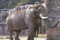 アフリカゾウ 23018032207| 写真素材・ストックフォト・画像・イラスト素材|アマナイメージズ