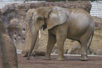 アフリカゾウ 23018032208| 写真素材・ストックフォト・画像・イラスト素材|アマナイメージズ