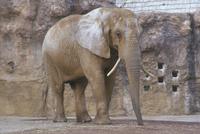 アフリカゾウ 23018032211| 写真素材・ストックフォト・画像・イラスト素材|アマナイメージズ