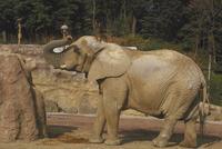 アフリカゾウ 23018032212| 写真素材・ストックフォト・画像・イラスト素材|アマナイメージズ