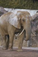 アフリカゾウ 23018032213| 写真素材・ストックフォト・画像・イラスト素材|アマナイメージズ