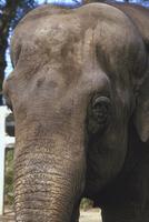 アジアゾウ(インドゾウ) 23018032214| 写真素材・ストックフォト・画像・イラスト素材|アマナイメージズ