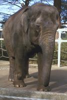 アジアゾウ(インドゾウ) 23018032215| 写真素材・ストックフォト・画像・イラスト素材|アマナイメージズ