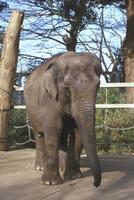 アジアゾウ(インドゾウ) 23018032216| 写真素材・ストックフォト・画像・イラスト素材|アマナイメージズ
