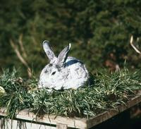 ウサギ(チンチラ)