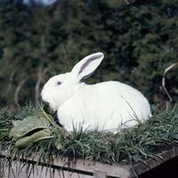 ウサギ(日本白色種)