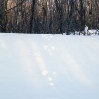 エゾユキウサギの足跡