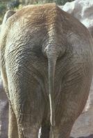 アフリカゾウ 23018032397| 写真素材・ストックフォト・画像・イラスト素材|アマナイメージズ