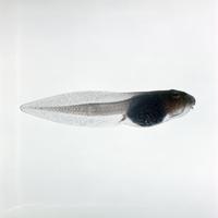 ヤマアカガエル 23018032668| 写真素材・ストックフォト・画像・イラスト素材|アマナイメージズ