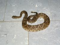 ネッタイガラガラヘビ