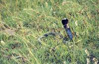 クロクビコブラ