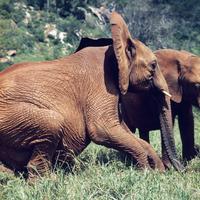 アフリカゾウ 23018032951| 写真素材・ストックフォト・画像・イラスト素材|アマナイメージズ