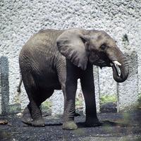 アフリカゾウ 23018032952| 写真素材・ストックフォト・画像・イラスト素材|アマナイメージズ