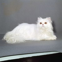 ネコ(チンチラ) 23018032971| 写真素材・ストックフォト・画像・イラスト素材|アマナイメージズ