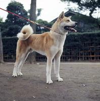 イヌ(秋田犬) 23018032972| 写真素材・ストックフォト・画像・イラスト素材|アマナイメージズ