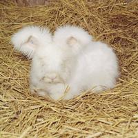 ウサギ(アンゴラ) 23018032978| 写真素材・ストックフォト・画像・イラスト素材|アマナイメージズ
