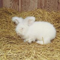 ウサギ(アンゴラ) 23018032979| 写真素材・ストックフォト・画像・イラスト素材|アマナイメージズ