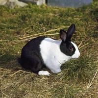 ウサギ(ダッチ) 23018032981| 写真素材・ストックフォト・画像・イラスト素材|アマナイメージズ