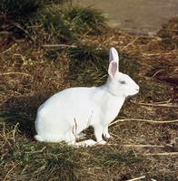 ウサギ(ニュージーランドホワイト) 23018032982| 写真素材・ストックフォト・画像・イラスト素材|アマナイメージズ