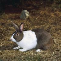 ウサギ(ダッチ) 23018032983| 写真素材・ストックフォト・画像・イラスト素材|アマナイメージズ