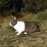 ウサギ(ダッチ) 23018032985| 写真素材・ストックフォト・画像・イラスト素材|アマナイメージズ