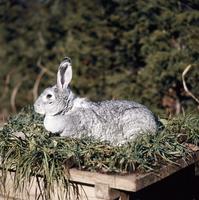 ウサギ(チンチラ) 23018032986| 写真素材・ストックフォト・画像・イラスト素材|アマナイメージズ