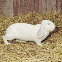 ウサギ(デンマークジャイアント) 23018032987| 写真素材・ストックフォト・画像・イラスト素材|アマナイメージズ