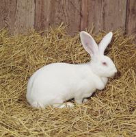 ウサギ(日本白色種) 23018032989| 写真素材・ストックフォト・画像・イラスト素材|アマナイメージズ