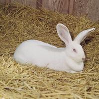 ウサギ(日本白色種) 23018032990| 写真素材・ストックフォト・画像・イラスト素材|アマナイメージズ