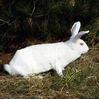 ウサギ(日本白色種) 23018032991| 写真素材・ストックフォト・画像・イラスト素材|アマナイメージズ