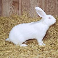 ウサギ(フレミッシュジャイアント) 23018032994| 写真素材・ストックフォト・画像・イラスト素材|アマナイメージズ