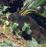 アマミノクロウサギ