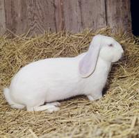 ウサギ(デンマーク・ジャイアント) 23018033035| 写真素材・ストックフォト・画像・イラスト素材|アマナイメージズ