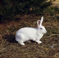 ウサギ(ニュージーランドホワイト) 23018033036| 写真素材・ストックフォト・画像・イラスト素材|アマナイメージズ