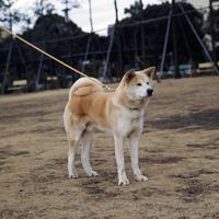 イヌ(秋田犬) 23018033040| 写真素材・ストックフォト・画像・イラスト素材|アマナイメージズ