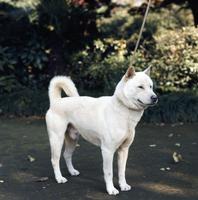 イヌ(紀州犬)