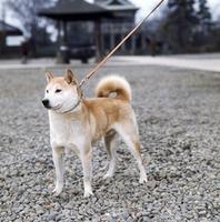 イヌ(柴犬) 23018033052| 写真素材・ストックフォト・画像・イラスト素材|アマナイメージズ