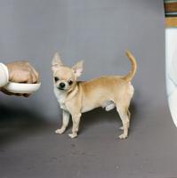 イヌ(チワワ) 23018033060| 写真素材・ストックフォト・画像・イラスト素材|アマナイメージズ